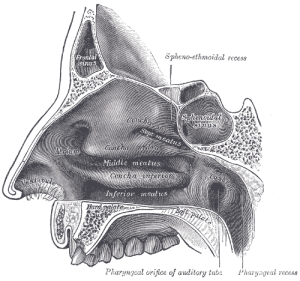 Nasal Cavity Grays